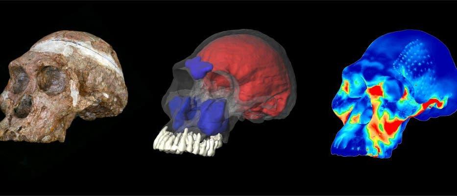 Australopithecus mit Nussknackergebiss