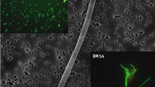 Ölfressende Bakterien