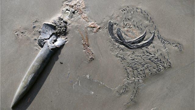 Fossil eines durchgebissenen Belemniten