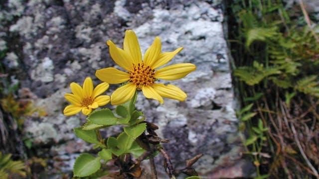 Bidens meyeri - ein botanischer Neuzugang aus der Südsee