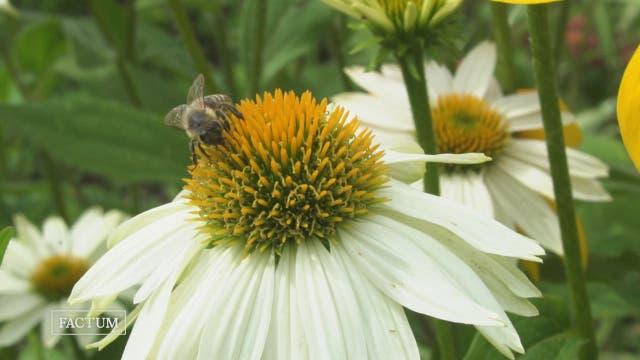Ist die Biene wirklich vom Aussterben bedroht?