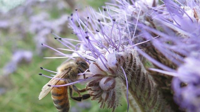 Biene beim Nahrungsammeln