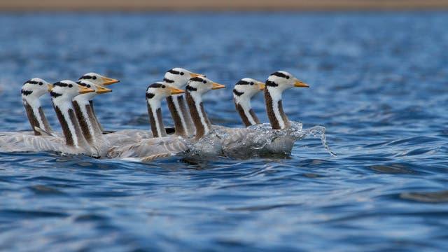 Schwimmende Streifengänse