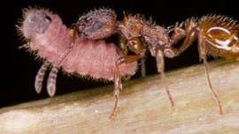 Knotenameise trägt Bläulingsraupe ins Nest