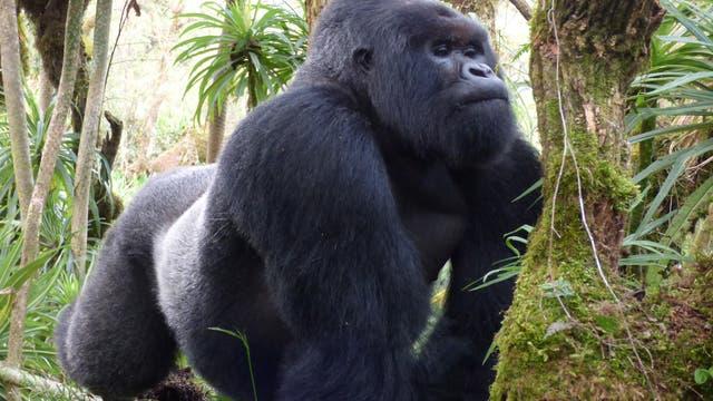 Ein Berggorilla-Silberrücken im Virunga-Nationalpark