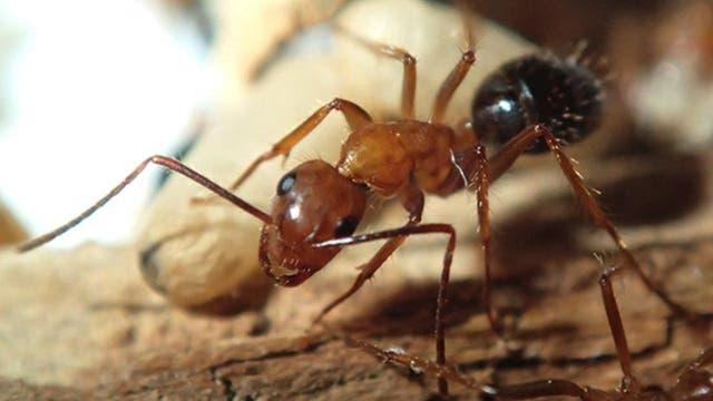 Eine drogenabhängige Camponotus-Ameise