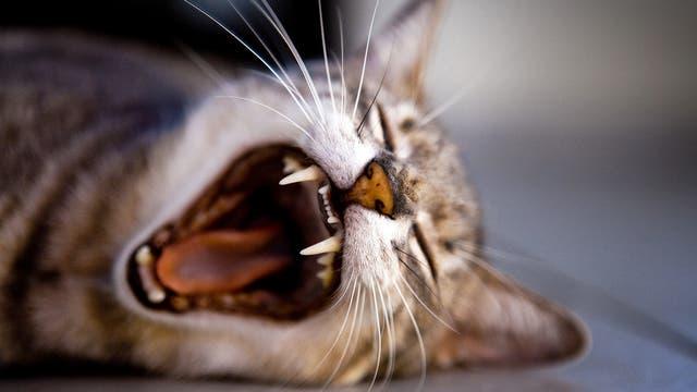 getigerte Katze gähnt