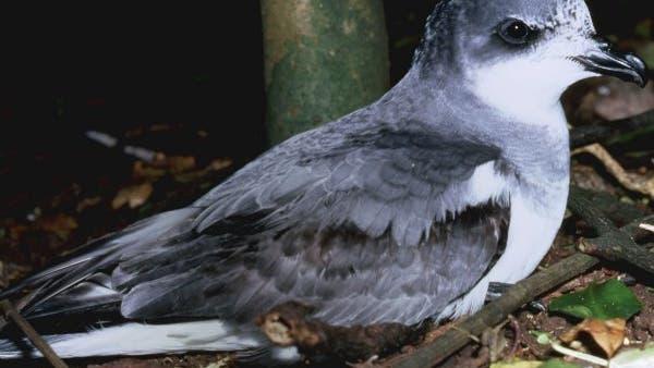 Chathamsturmvogel
