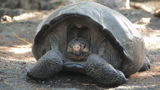 Fernandina-Riesenschildkröte