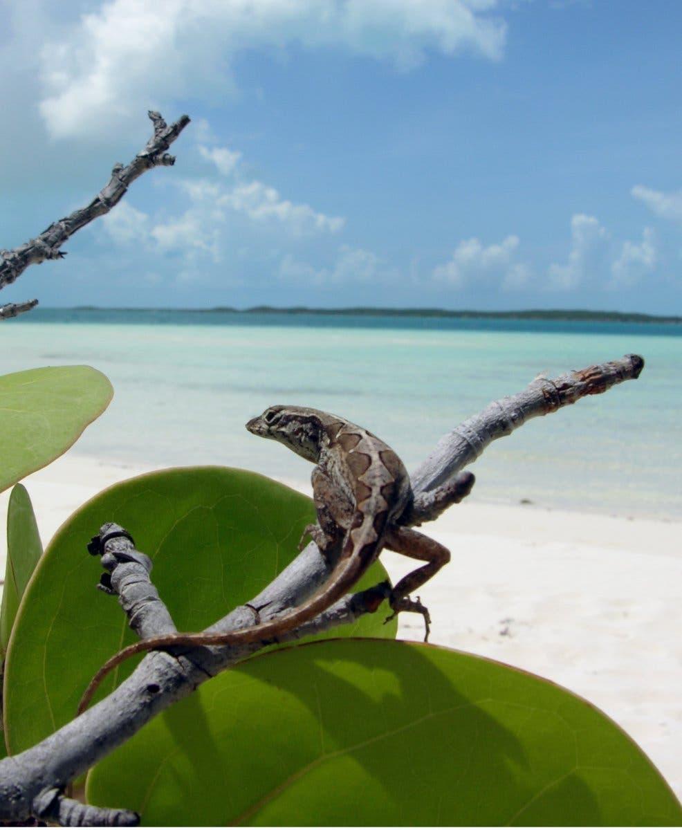Bahamas-Anoli