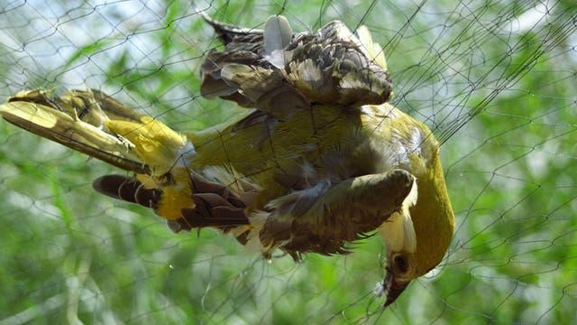 Feinmaschige Netze fange Vögel aller Art - auch wenn sie eigentlich geschützt sind wie dieser Pirol.