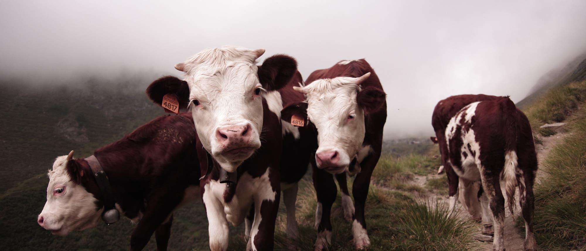 Kühe sind Herdentiere