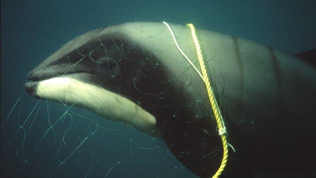 Hector-Delfin im Fangnetz