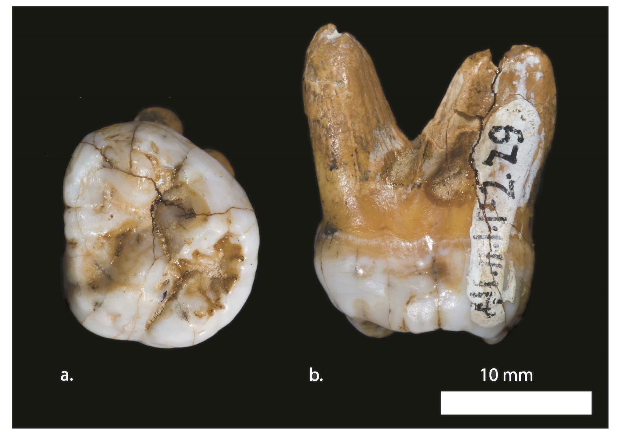 Zahn des Denisova-Menschen