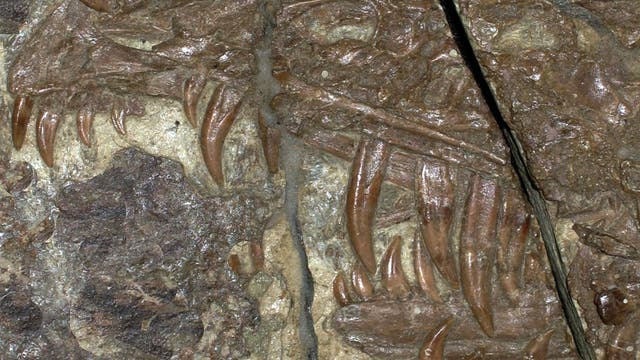 Fossil eines Sinornithosaurus-Kiefers