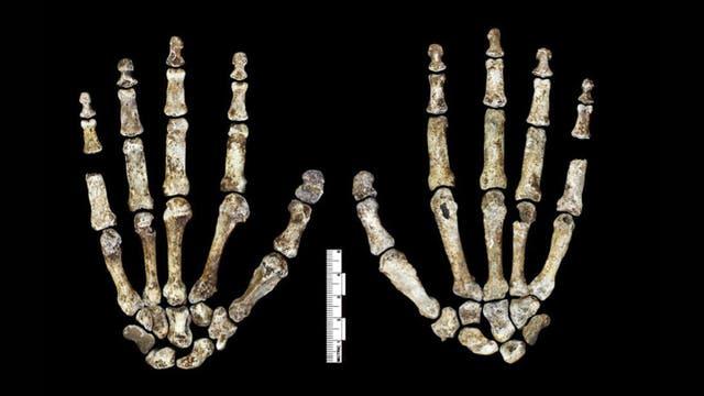 Homo naledi Hand