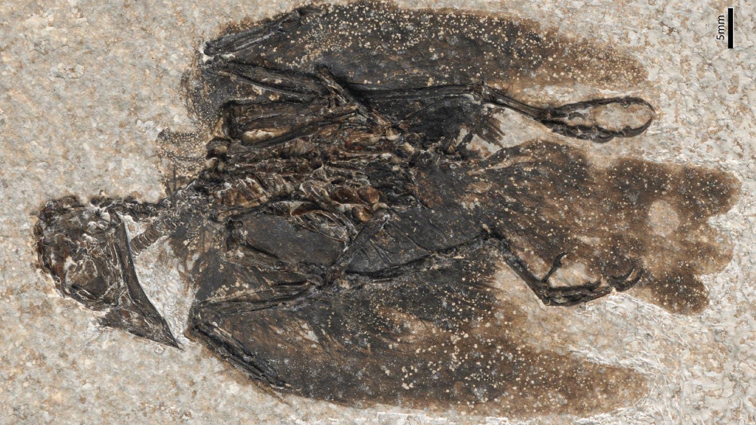 Eofringillirostrum parvulum