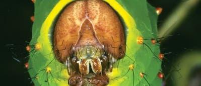 Nordamerikanische Schmetterlingsraupe