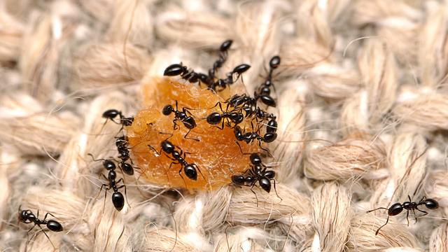 Monomorium-minimum-Ameisen haben Hunger