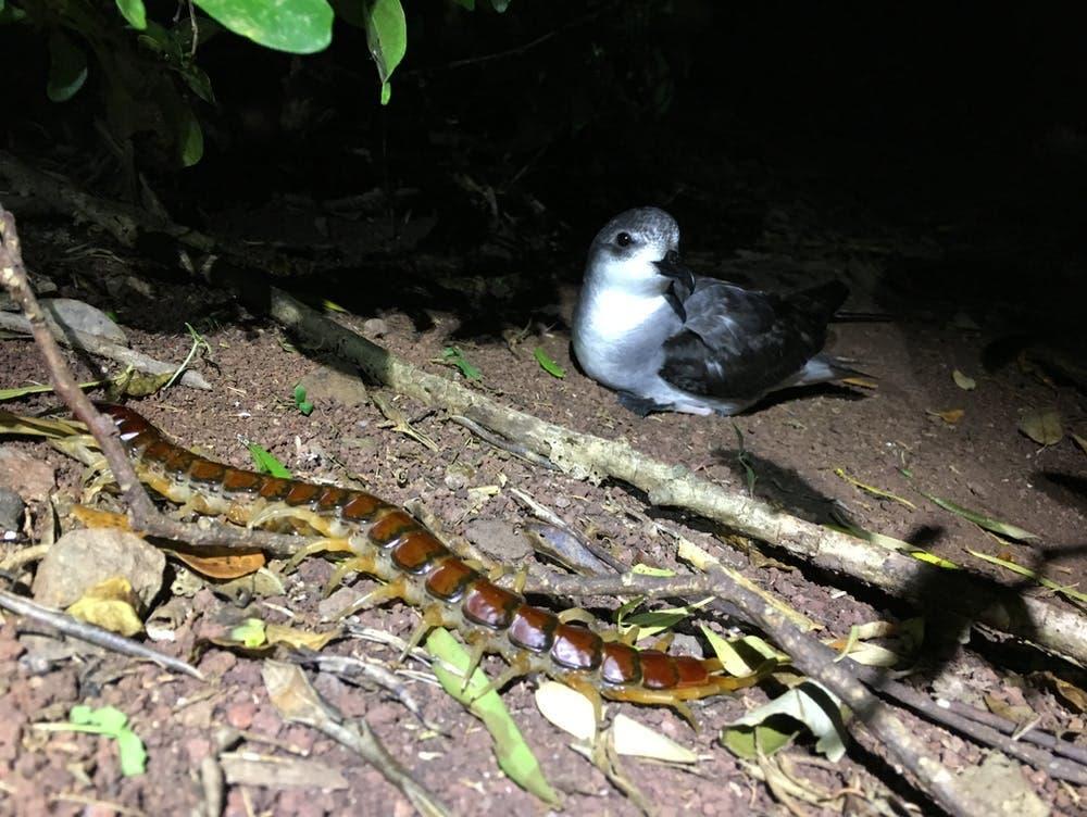 Hundertfüßer und Schwarzflügel-Sturmvogel