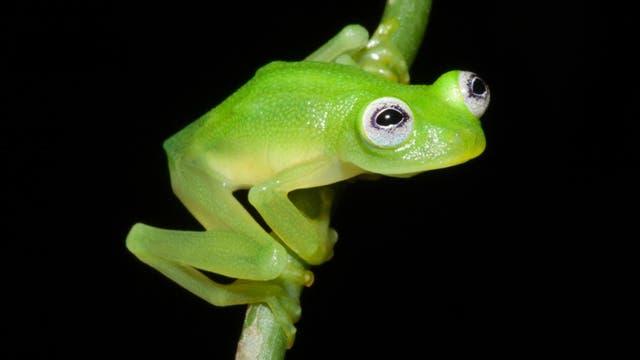 Kermit in echt: Neuer Glasfrosch aus Costa Rica