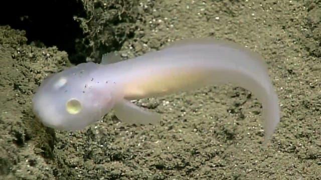 Screenshot von geisterhaftem Tiefseefisch in Großaufnahme
