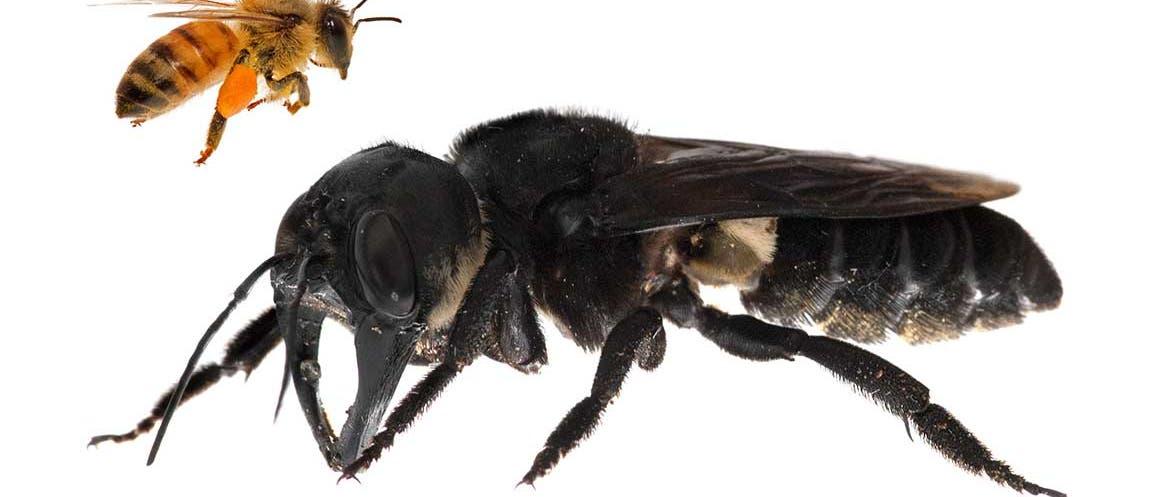 Riesenbiene im Vergleich mit Honigbiene