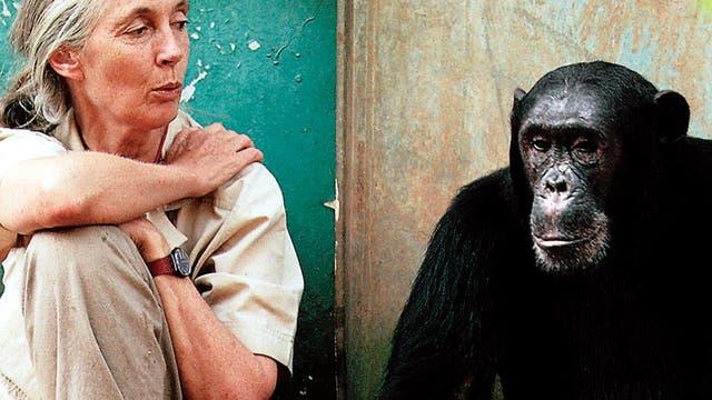 Jane Goodall und Schimpanse Freud