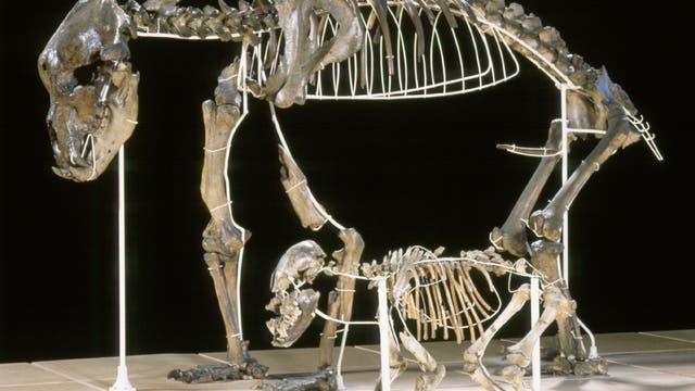 Zwei Skelette von Höhlenbären, mit Drahtgestellen aufgerichtet