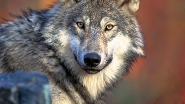 Amerikanischer Wolf