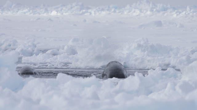 Grönlandwal an einem Eisloch
