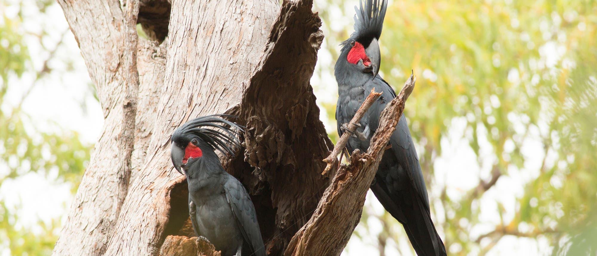 Kakadumännchen trommelt für Weibchen