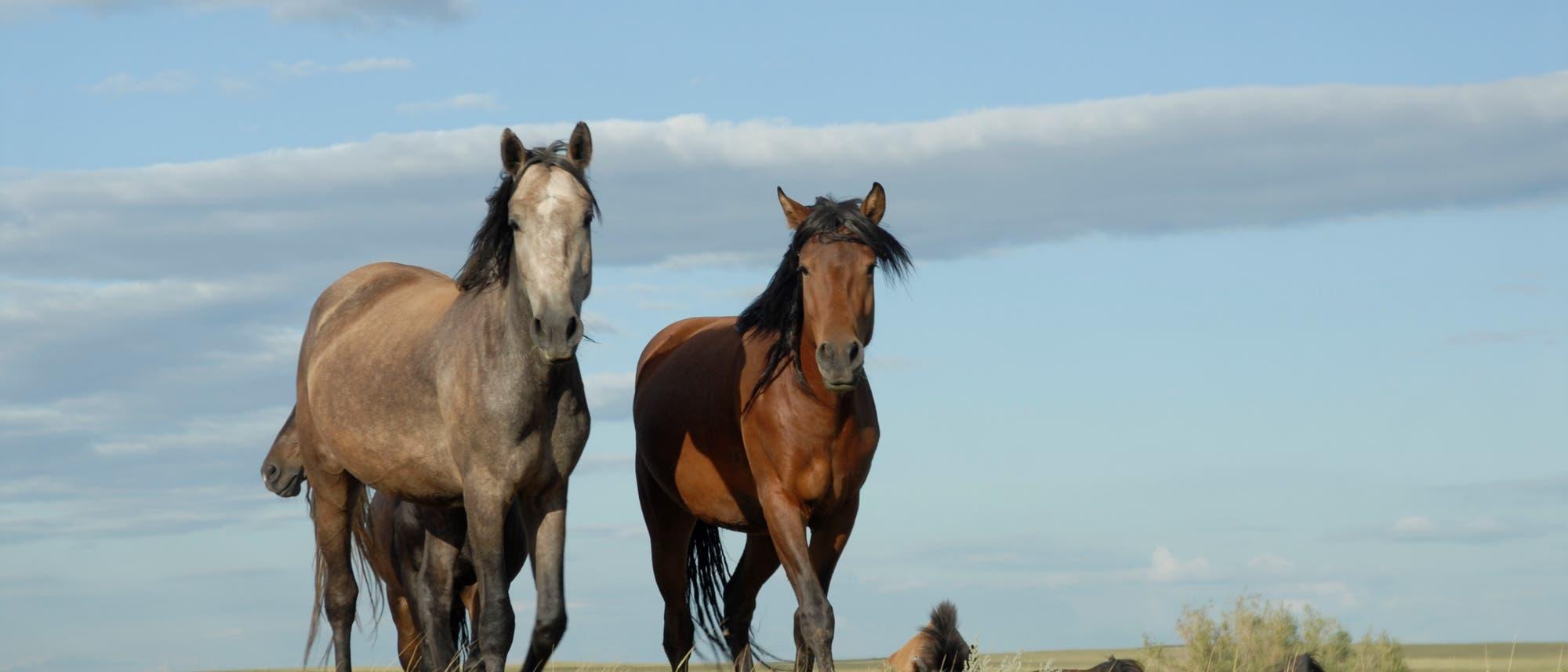 Pferde der eurasischen Steppe