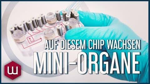 Auf diesem Chip wachsen Mini-Organe