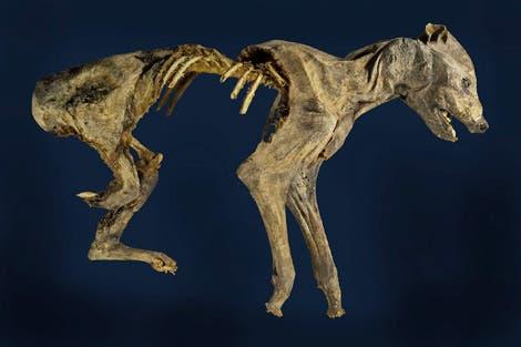 Hyäne aus einer Höhle in Jordanien