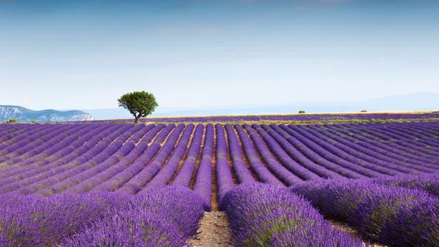 Blick über weite Lavendelfelder und Berge am Horizont