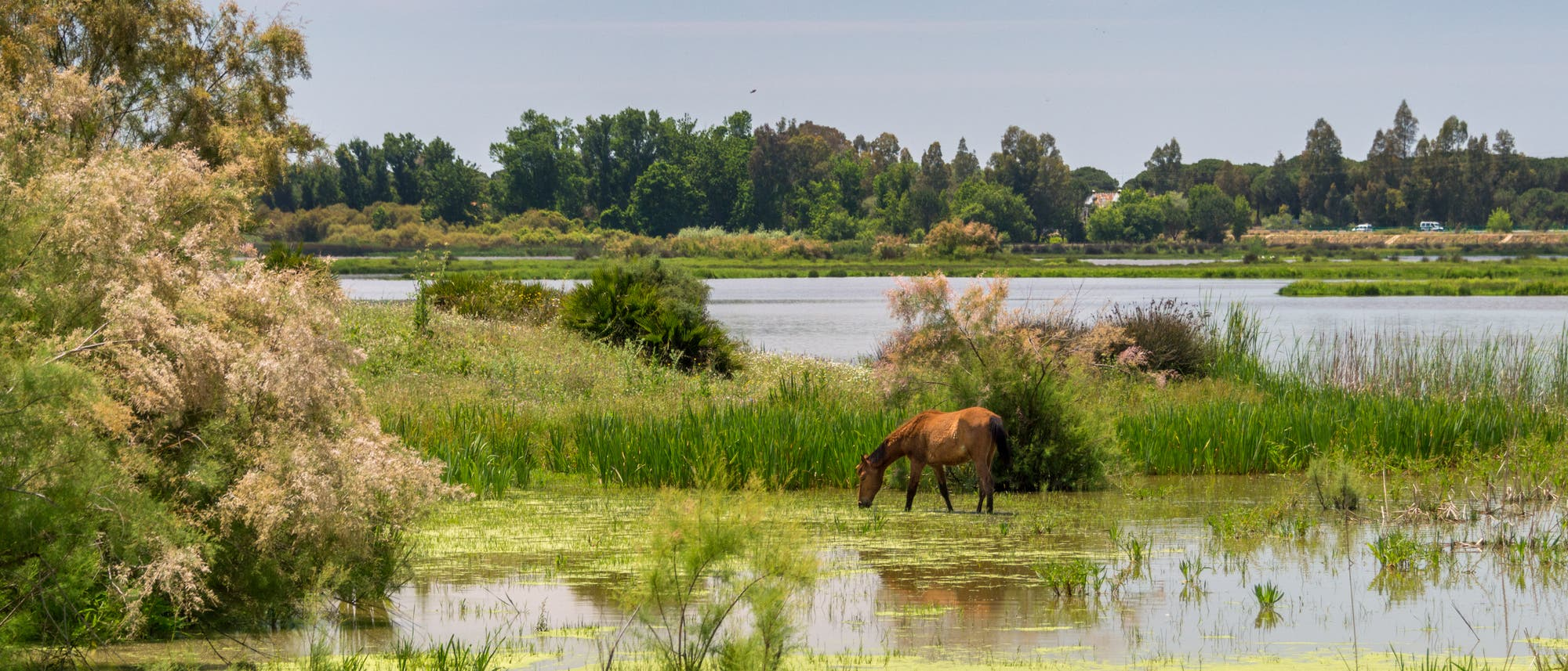 Grasendes Pferd im Nationalpark Coto de Doñana an der Costa de la Luz in Andalusien.