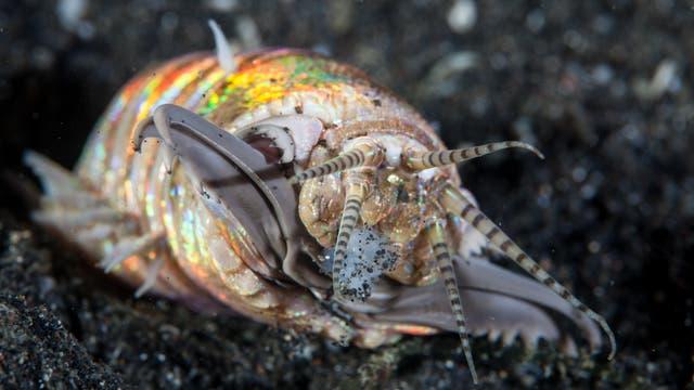 Riesenborstenwurm