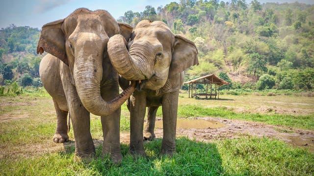 Asiatische Elefanten beschnüffeln sich gegenseitig