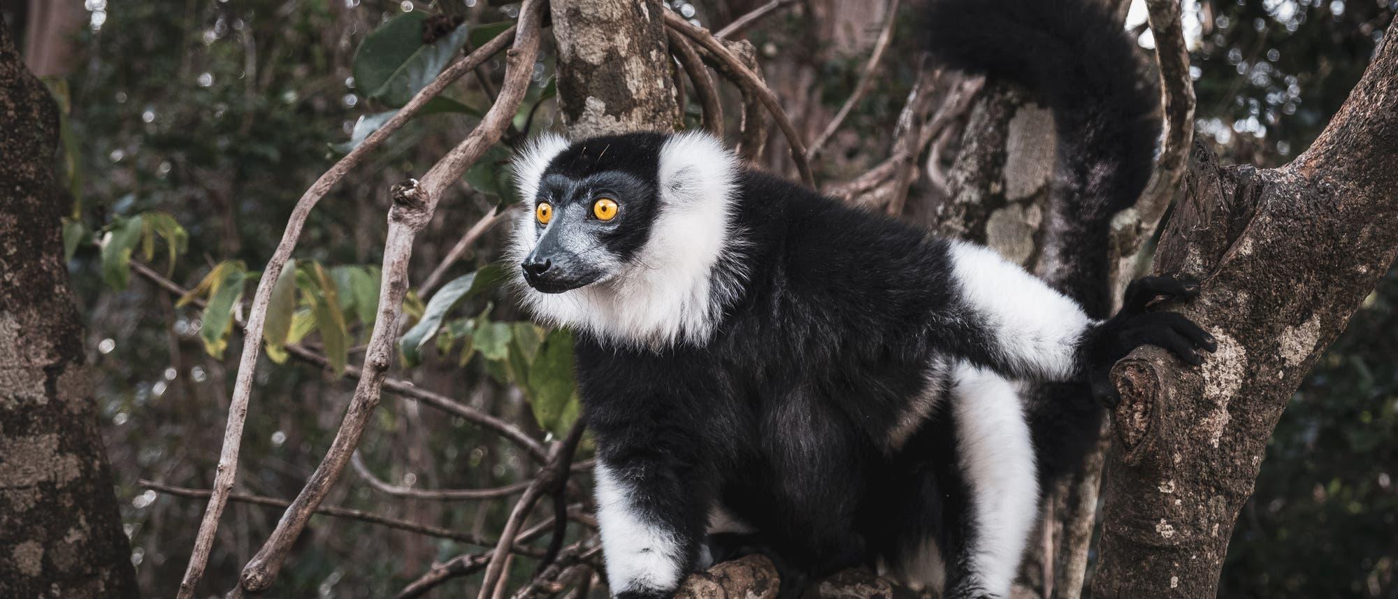 Schwarzweiße Varis leben nur auf Madagaskar