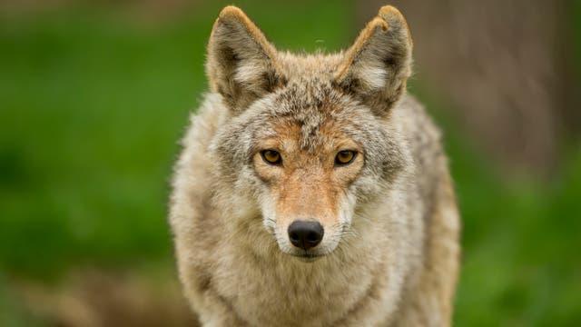 Ein Kojote schaut in die Kamera
