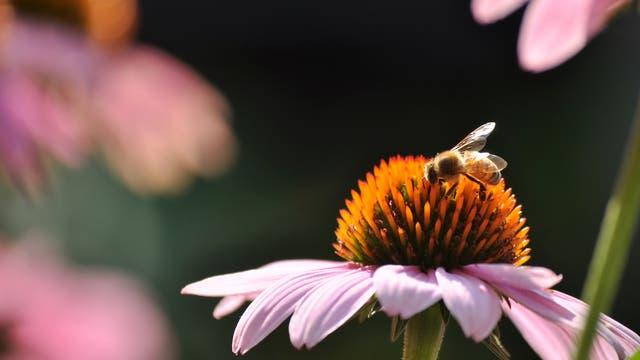 Honigbiene an Echinacea