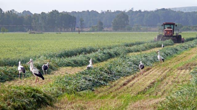 Störche bei der Nahrungssuche auf einem frisch gemähten Feld