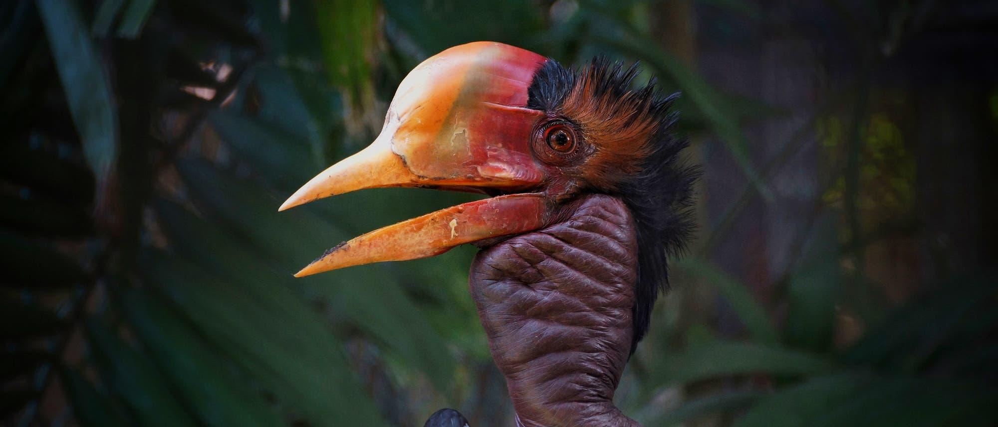 Schildhornvogel (Rhinoplax vigil)
