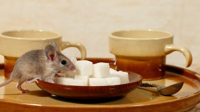 Auch Mäuse können Diabetes bekommen