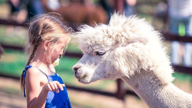 Weißes Alpaka und kleines Mädchen stehen einander gegenüber