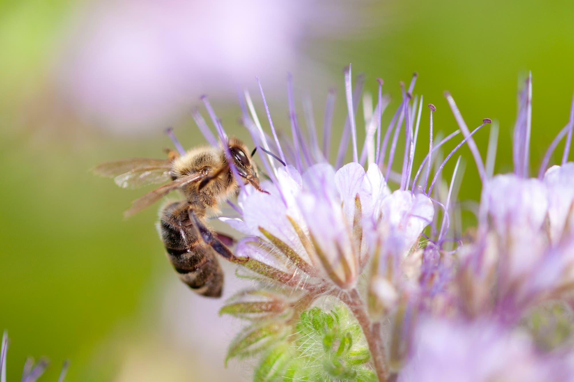 Honigbiene an Buschelschönblüte