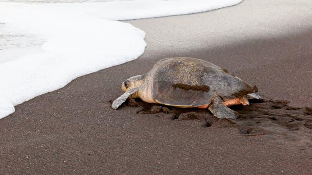 Eine Pazifische Bastardschildkröte an der Küste von Costa Rica. Tiere dieser Art sind in Mexiko an Weihnachten 2019 verendet.