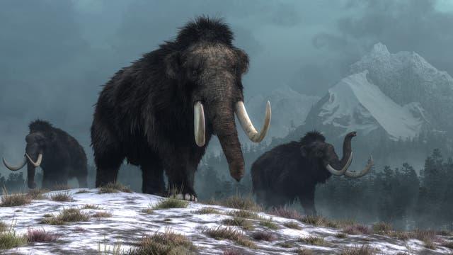 Mammuts wurden vor allem wegen ihrer Stoßzähne gejagt