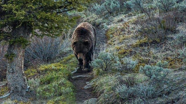 Grizzlybär auf einem Wanderweg im Yellowstone Nationalpark.